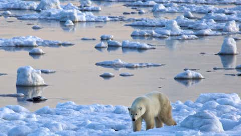 Polar bear takes an early morning stroll along edge of Hudson Bay.