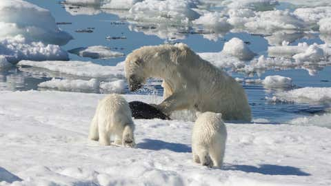 Female polar bear (Ursus maritimus) hunting a ringed seal (Pusa hispida or phoca hispida) and accompanied by two cubs, Svalbard Archipelago, Barents Sea, Norway.