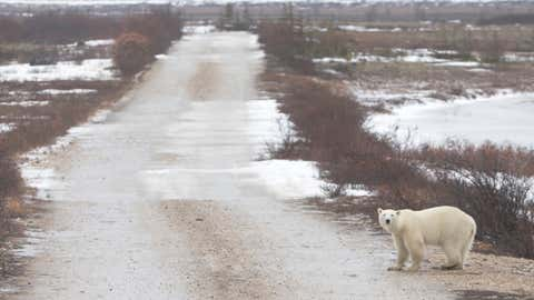 A polar bear waits to cross a street as he walks across the frozen tundra on November 15, 2016 close to Hudson Bay near Churchill, Canada.