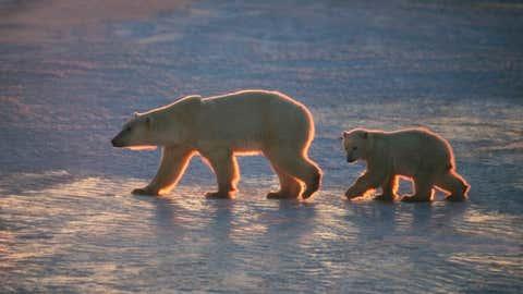 A Polar Bear cub follows mom rim-lit in afternoon light near Hudson Bay, Manitoba, Canada.