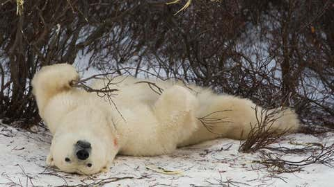 A Polar Bear plays with a bush on the tundra while waiting for the Hudson Bay to freeze 14 November 2007 outside Churchill, Manitoba, Canada. Polar Bears return every year to Churchill, the Polar Bear capital of the world, to hunt for seals on the icepack until the Spring thaw.   AFP Photo/Paul J. Richards (Photo credit should read PAUL J. RICHARDS/AFP via Getty Images)