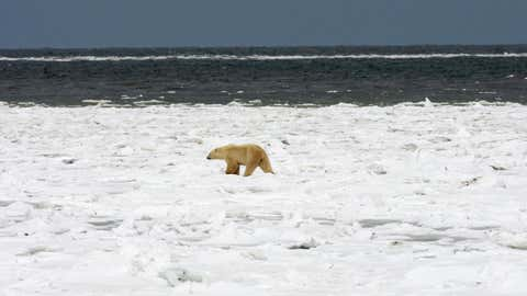 A Polar Bear walks on the formed ice pack waiting for the entire Hudson Bay waters (TOP) to freeze over 13 November 2007 outside Churchill, Mantioba, Canada. Polar Bears return every year to Churchill, the Polar Bear capital of the world, feeding on seals and remaining until the Spring thaw.      AFP Photo/Paul J. Richards (Photo credit should read PAUL J. RICHARDS/AFP via Getty Images)