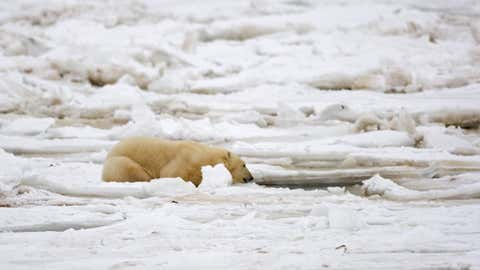 A polar bear sits on the Hudson Bay fresh ice next to a hole in the ice and close to the shore waiting for a potential meal of seal, 15 November 2007, outside Churchill, Manitoba, Canada. Polar bears return to Churchill, the polar bear capital of the world, to hunt for seals on the icepack every year at this time and remain on the icepack feeding on seals until the spring thaw.      AFP Photo/Paul J. Richards (Photo credit should read PAUL J. RICHARDS/AFP via Getty Images)