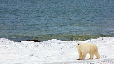 A polar bear walks next to the Hudson Bay waiting for the bay to freeze, 13 November 2007, outside Churchill, Mantioba, Canada. Polar bears return to Churchill, the polar bear capital of the world, to hunt for seals on the icepack every year at this time and remain on the icepack feeding on seals until the spring thaw.   AFP PHOTO/Paul J. Richards (Photo credit should read PAUL J. RICHARDS/AFP via Getty Images)