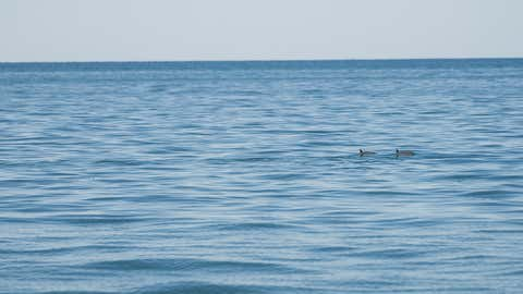 The tiny vaquita porpoise will likely go extinct in the next few years, as less than 30 are left in the world. (David Schneither/Getty Images)