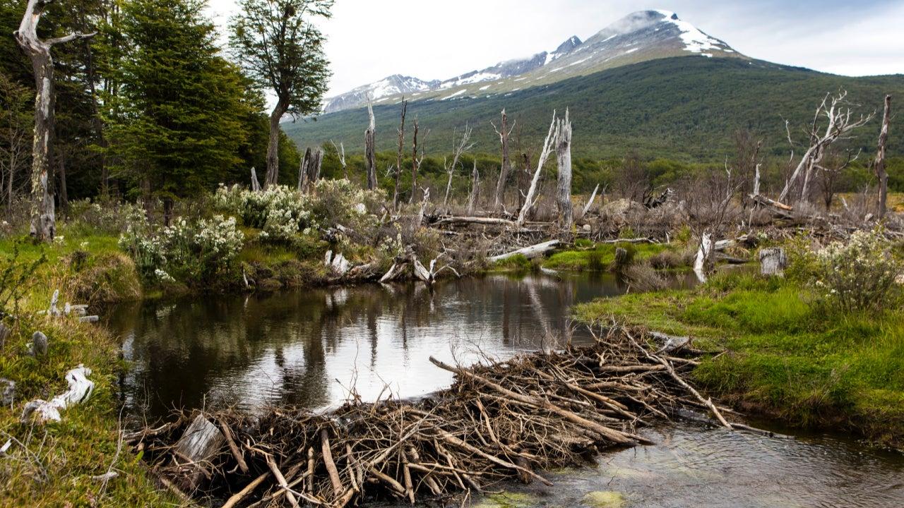 Beaver dam, Getty Images/Manuel Romaris