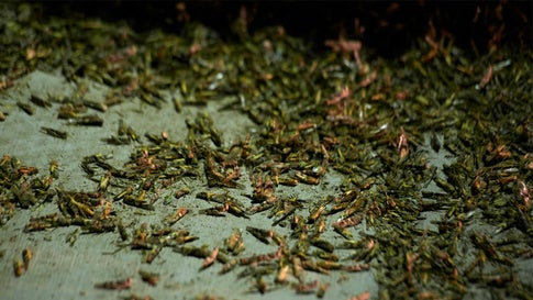 Grasshopper Swarms Leave Las Vegas – Here's When They Could Return