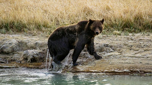 A grizzly bear exits Pelican Creek October 8, 2012, in the Yellowstone National Park in Wyoming. The Endangered Species Act is credited with saving grizzly bears from extinction. (Karen Bleier/AFP/GettyImages)