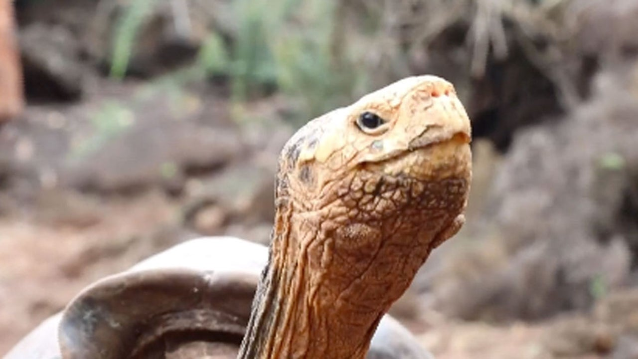 Diego the Tortoise May Have Saved His Entire Species