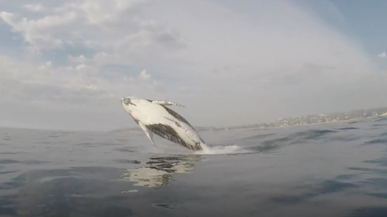 Watch Humpback Whale Breach Feet from Kayaker