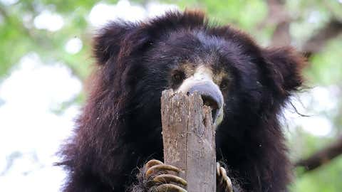 One of the oldest bears under the care of Wildlife SOS, Gail is a gentle and reserved bear who can be spotted licking pasted honey off her enrichment log.  (Wildlife SOS)