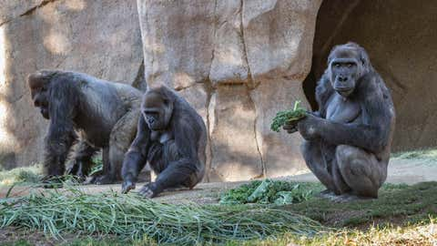Members of the Gorilla troop in USA's San Diego Zoo Safari Park that has tested positive for novel coronavirus. (Christina Simmons/San Diego Zoo)