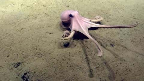 An octopus stretches out while crawling across the seafloor. (NOAA Office of Ocean Exploration and Research, 2013 Northeast U.S. Canyons Expedition.)