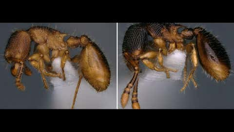 Bengaluru researchers discover two new species of ant (IANS)