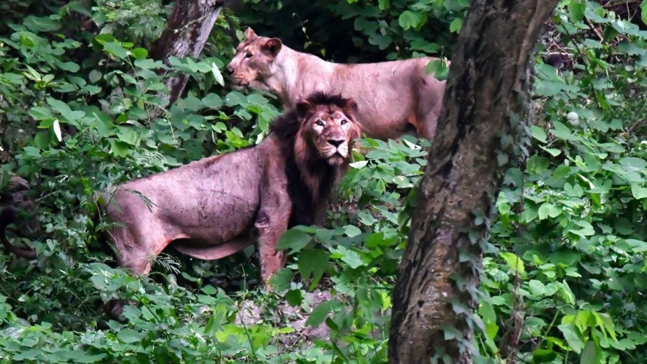 Inside the protected area, 75% of the lions' diet comprises wild prey that they hunt themselves.  However, as they stray further from the protected areas, hunted prey makes up only 20% of their diet, with livestock comprising 70%.