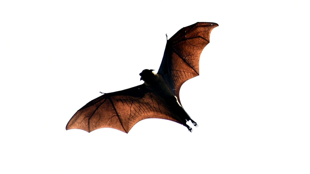 Three of the bat carcasses have been sent to Indian Veterinary Research Institute (IVRI) in Bareilly for examination.