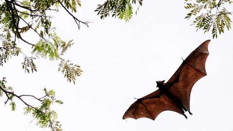 A bat in flight.(A. Prathap/BCCL Chennai)