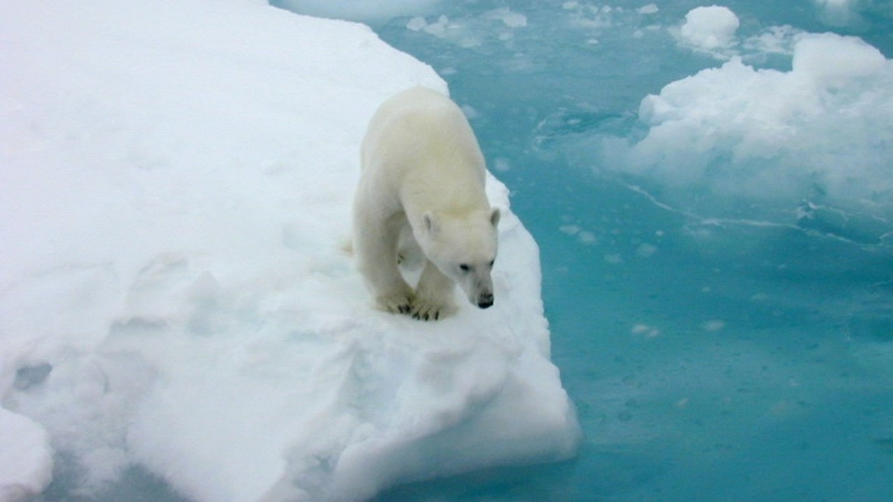 A new study has highlighted the severe impact of the retreating sea-ice on the reproductive, nutritional and behavioral lifestyle of the polar bears—the poster child for the impact of climate change.