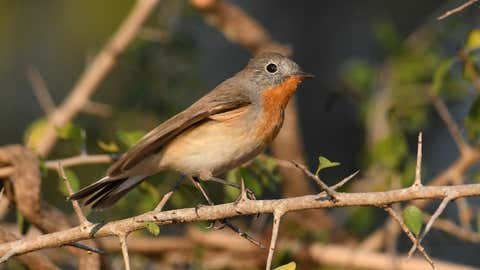 Red-breasted Flycatcher is a widespread winter visitor and passage migrant. (Madhusudhan SR/TOI, BCCL, Mysuru)