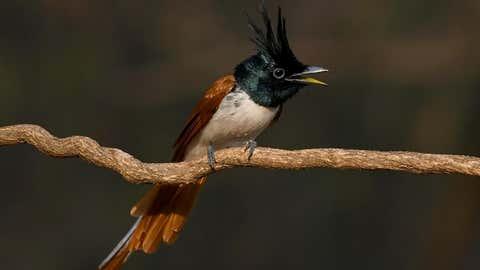 Paradise Flycatcher (Madhusudhan Sr/TOI, BCCL, Mysuru)