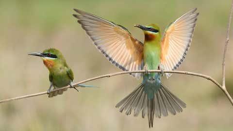 A pair of blue-tailed bee-eater. (Madhusudhan Sr/TOI, BCCL, Mysuru)