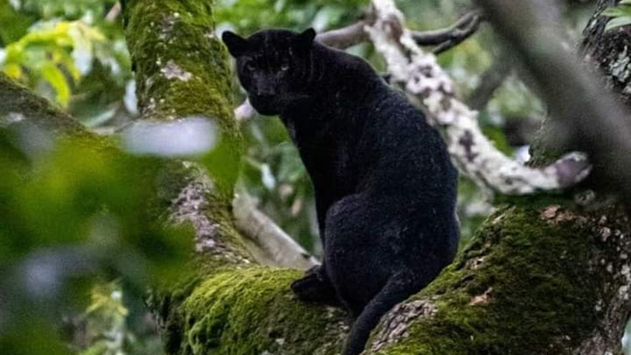 This black panther was spotted by a forest range officer in Karnataka's Nagarhole Tiger Reserve (NTR) on Monday, at a time when two photographs of a similar big cat have gone viral on social media.