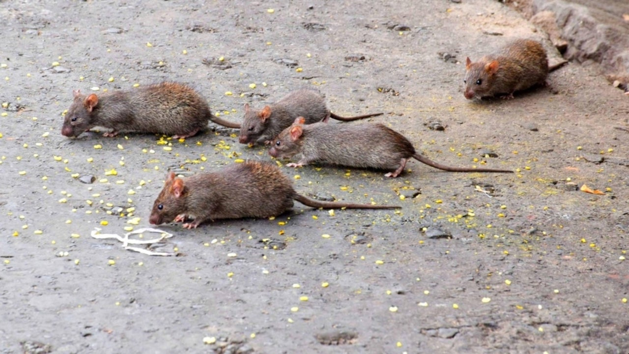 The city of Bayannur in Inner Mongolia has announced a level III warning regarding plague intervention that forbids the hunting and eating of animals carrying a plague, as the Chinese city has reported a case of local farmer contracting bubonic plague.