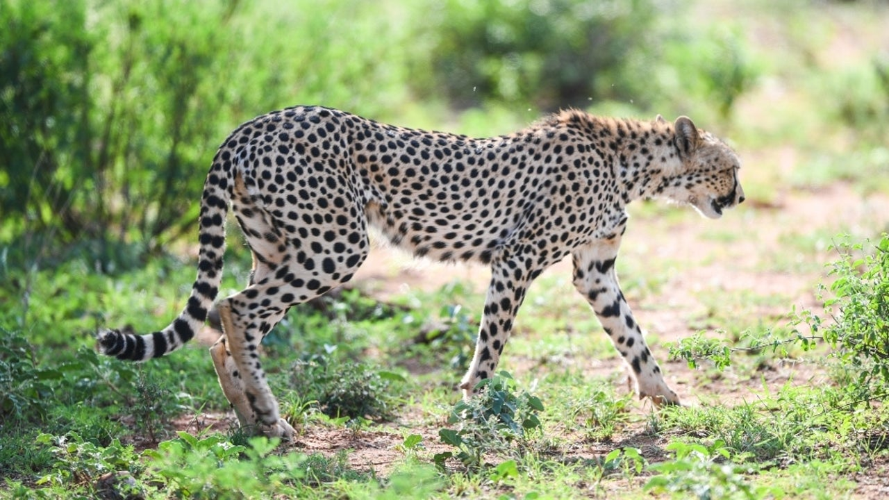 This decision arrives after a tussle of nearly seven years, during which the apex court had declined to permit the introduction of the African Cheetah, terming it a foreign species.
