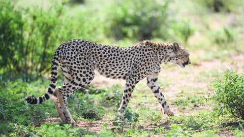 Cheetah. (Xinhua/Li Yan/IANS)