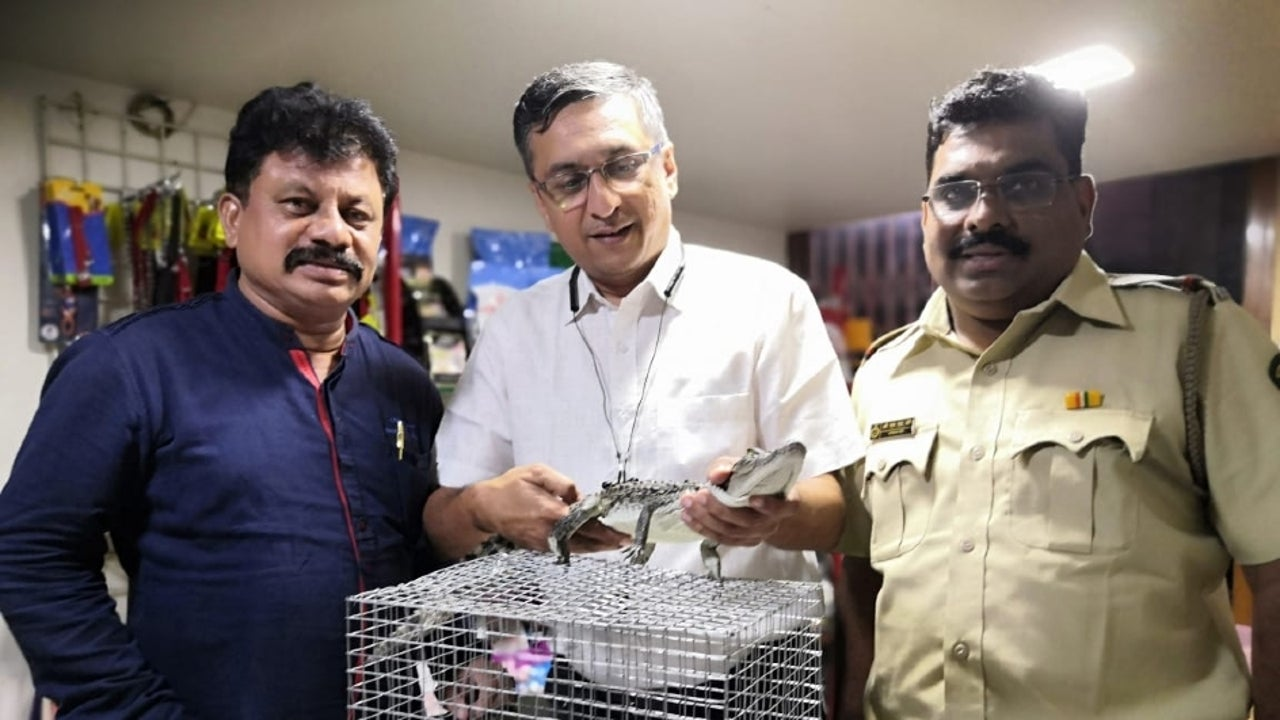 These juvenile reptiles - known by their scientific name 'Crocodylus Palustris' - are estimated to be worth ₹100,000-200,000 each in the grey markets.