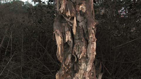 Un arbre en décomposition. (Hoshi Jal/TOI, BCCL, Bombay)