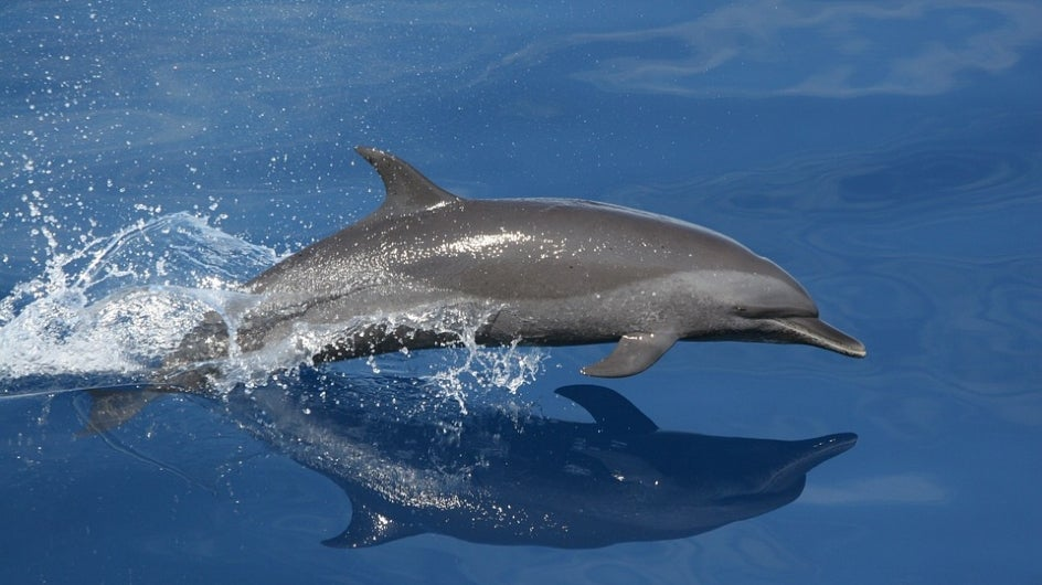 Dolphin Numbers Have Shrunk In Odisha, Reveals Census