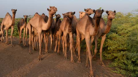 Dromedary camels from a study site in Ethiopia. (Eve Miguel)