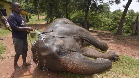 Assam is home to the most number of captive elephants in India, at 905 (2018 elephant census). In photo: A zookeeper gives a bath to an elephant on a hot summer day, at Assam State Zoo Cum Botanical Garden in Guwahati. (Photo: IANS)