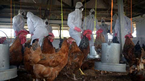 После обнаружения вируса птичьего гриппа сотрудники Департамента развития животных ресурсов носили куры кул в защитном снаряжении на государственной птицефабрике Гандиграм 16 января 2016 года в районе недалеко от Агарталы.  (IANS)