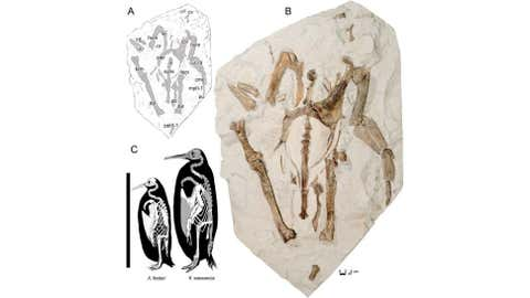 (A) A line drawing of the Kairuku waewaeroa specimen. (B) A photo of the specimen with most bones in ventral view. (C) Skeletal and size comparison of Kairuku waewaeroa and emperor penguin, Aptenodytes forsteri. (Journal of Vertebrate Paleontology)
