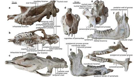 Holotype of Paraceratherium linxiaense sp. nov. Skull and mandible share the scale bar, but both the anterior and nuchal views have an independent scale bar. (IVPP)