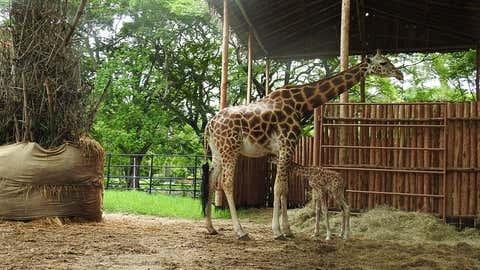 Giraffe in Mysuru. (IANS)
