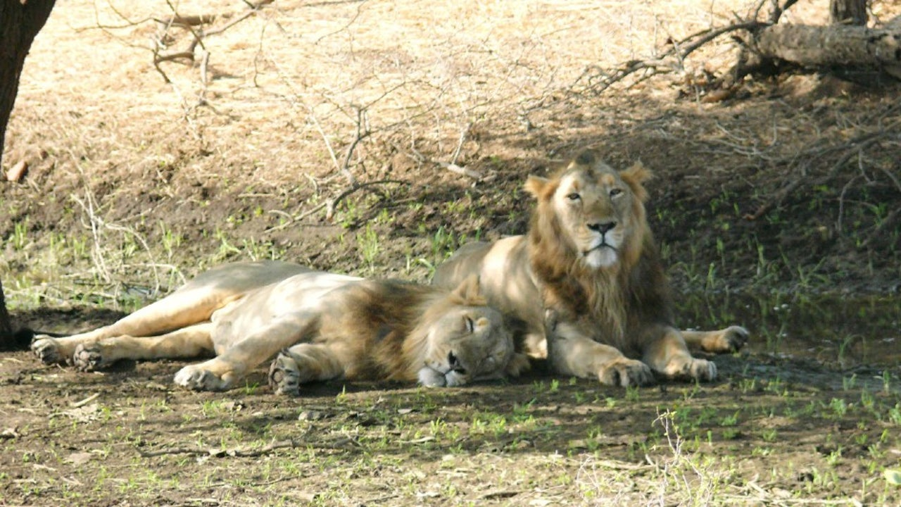 Deputy Conservator of Forests Junagadh, Dr Sunil Kumar Berwal tweeted that the lions of Girnar Wildlife Sanctuary are safe, and that it was normal for them to be passing through the city.