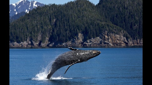 Whales Are Mother Nature's Most Efficient Carbon Sequestration Technology: Study