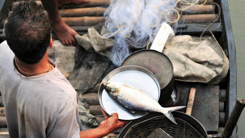 Hilsa Population Under Durga Pujo Stress