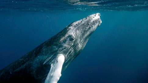 Humpback Whale Population Recovers in South Atlantic