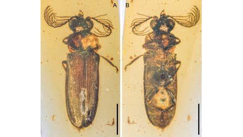 Cretopengots Azari, un escarabajo que produce luz fósil del ámbar birmano del Cretácico (~ 100 millones de años).  (Shenyang Kai)
