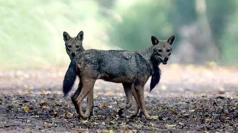 Indian jackals. (Shankar Lr/BCCL Chennai)