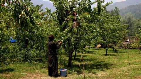 A Kashmiri farmer plucks cherries in an orchard on a bright, warm day in Srinagar. (Bilal Bahadur/TOI, BCCL, Delhi)