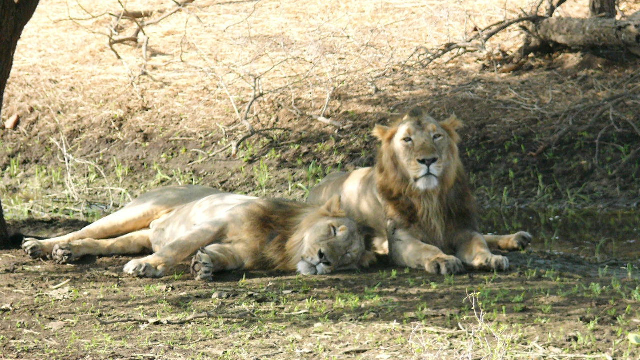 Kuno Palpur Wildlife Sanctuary in MP is equipped to take the lions in.