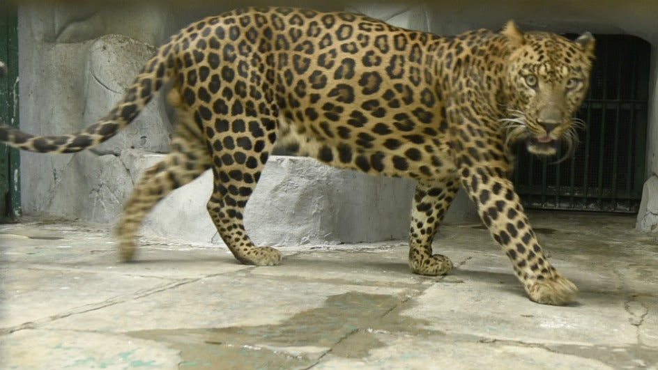 At 460, India Records Highest Leopard Mortality in 2018