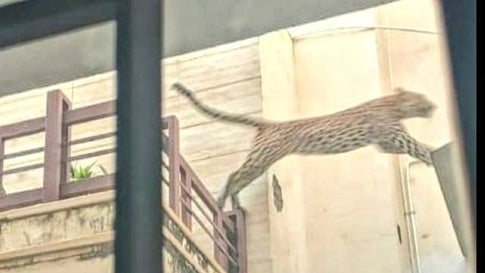 Leopard Enters Jaipur Locality, Drone Search On