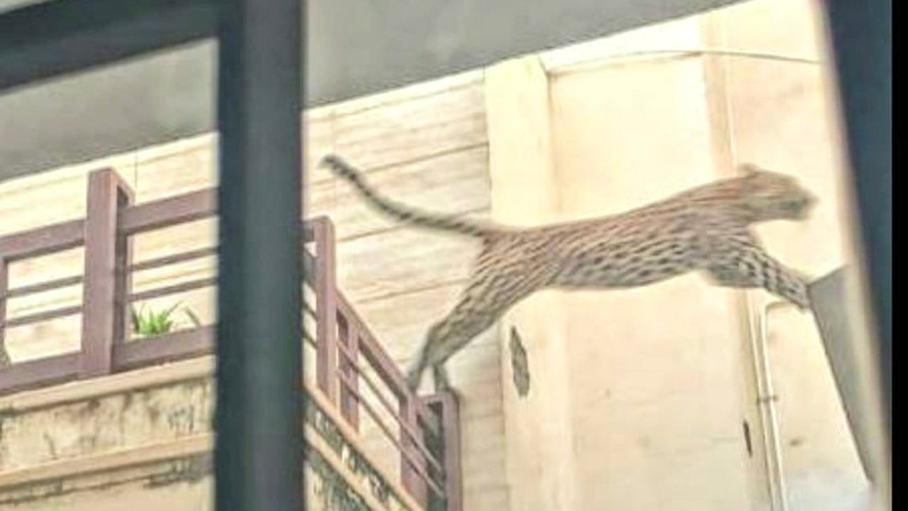 Forest officials said that the leopard must have entered the city on Wednesday night and hid himself somewhere during the day.