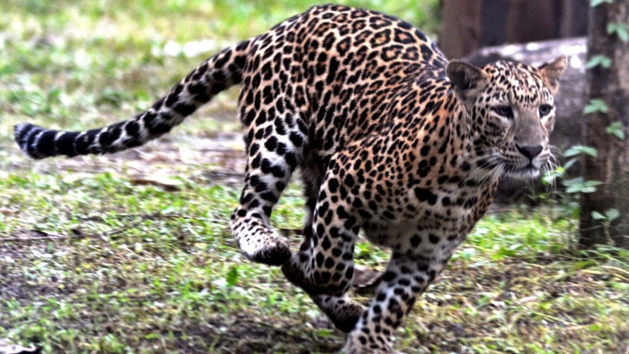 It is estimated that including cubs, the leopard's numbers in the Bijnore district of UP could be well over 100.